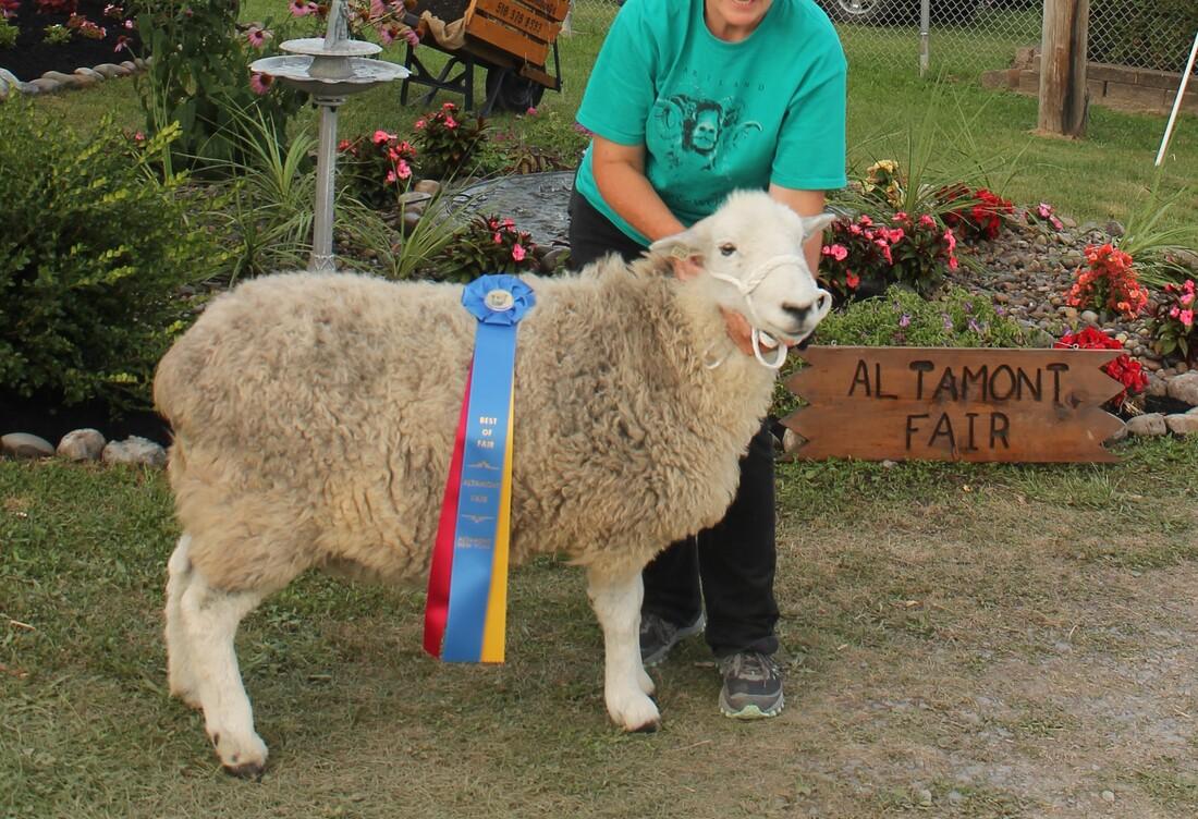 Herdwick Sheep For Sale Helder Herdwyck Farm